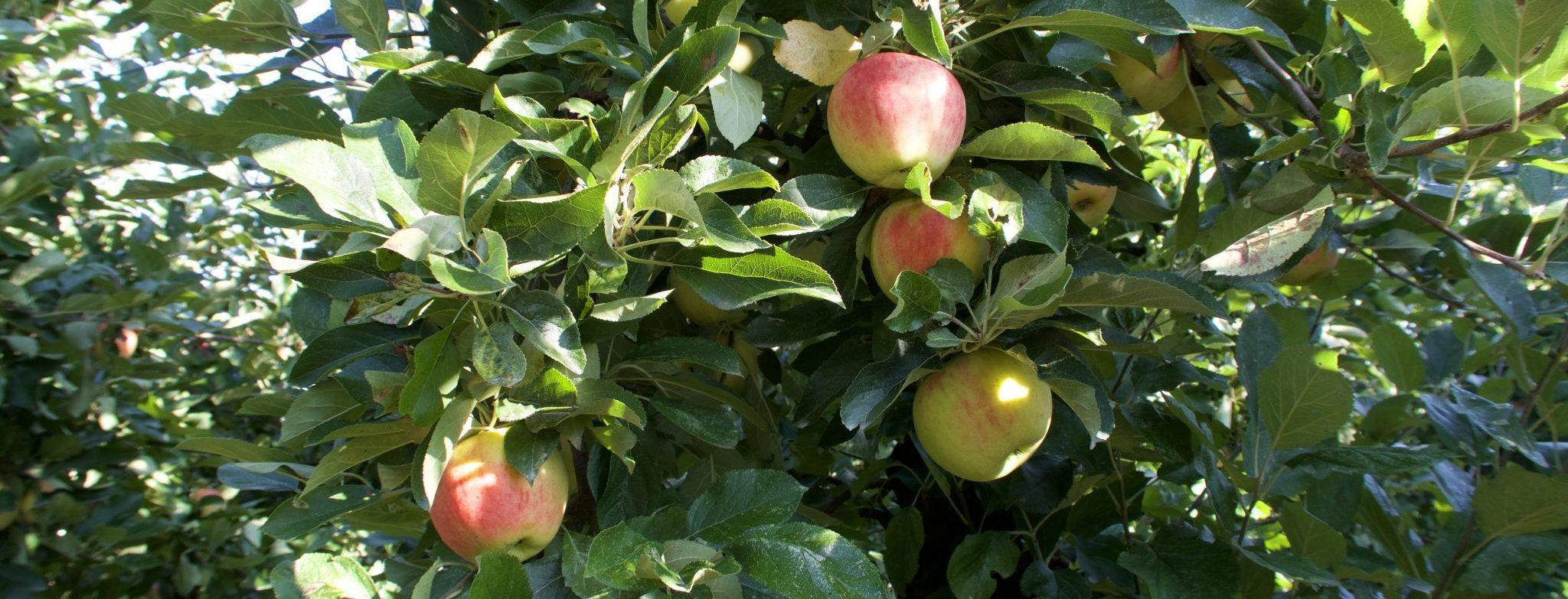 appels olmenhorst